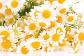 Små chamomiles närbild — Stockfoto