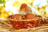 Little chicken with eggs in wicker basket on straw on bright background — Stock Photo