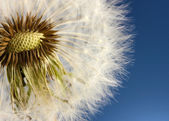 Beautiful dandelion with seeds on blue background — Stock Photo