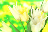 Beautiful white tulips on bright background — Stock Photo