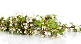 Flowering branches isolated on white — Stock Photo