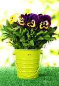 Beautiful pansies flowers on grass on bright background — Stock Photo