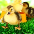 Stock Photo: Cute ducklings with drinking bowl on green grass, on bright background