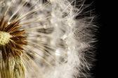 Beautiful dandelion with seeds on black background — Stock Photo
