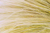 Feather Grass or Needle Grass, Nassella tenuissima, close up — Stock Photo