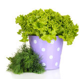 Useful herbs in lilac pail isolated on white — Stock Photo