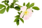 Hip rose flower, isolated on white — Stock Photo