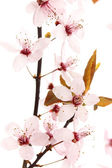 Beautiful cherry blossom isolated on white — Stock Photo