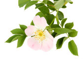 Hip rose flower, isolated on white — Stock Photo