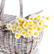 Many chamomile on basket isolated on white — Stock Photo
