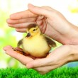 Hand with cute duckling, on bright background — Stock Photo