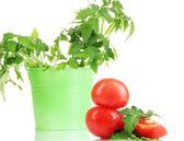 新鮮なトマトと白で隔離されるバケットで若い植物 — ストック写真
