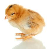 Kurczak mało na białym tle — Zdjęcie stockowe