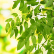 Green leaves on bright background — Foto de Stock
