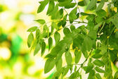 Green leaves on bright background — Stock Photo