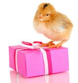 Pollo con regalo aislado en blanco — Foto de Stock