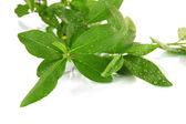 Hoja verde aislada en blanco — Foto de Stock