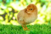 Little chicken on grass on bright background — Stock Photo