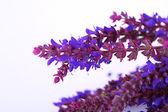 Fleurs de sauge, isolés sur blanc — Photo