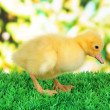 Little duckling on grass on bright background — Stock Photo #26066155