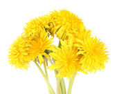 Diente de león flores aisladas en blanco — Foto de Stock