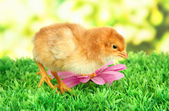 Little chicken with flowers on grass on bright background — Stock Photo