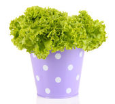 Fresh herb in colorful pail isolated on white — Stock Photo