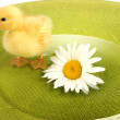 Floating cute duckling close up — Stock Photo