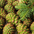 Green cones and fir tree, close up — Stock Photo
