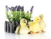 Little ducklings with flower isolated on white — Stock Photo