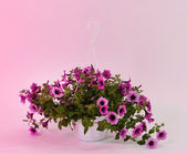 Purple petunia in flowerpot on light pink background — Stock Photo
