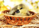 Kleine eendje in rieten mand op stro op lichte achtergrond — Stockfoto