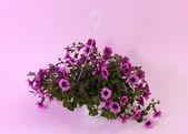 Purple petunia in flowerpot on light purple background — Stock Photo