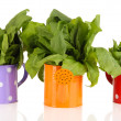 Fresh herbs in colorful watering cans isolated on white — Stock Photo #26325125