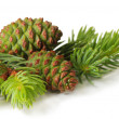 Green cones and fir tree isolated on white — Stock Photo #26328065