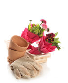 Beautiful spring flowers in wooden crate and gardening gloves isolated on white — Stock Photo