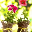 Petunias in pots on wooden table on nature background — Stock Photo