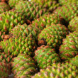 Green pine cones, close up — Stock Photo