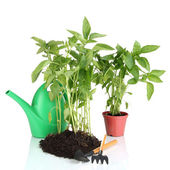 Pepper seedlings with garden tools isolated on white — Stock Photo