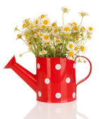 Small chamomiles in watering can isolated on white — Stock Photo