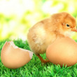 Little chicken with eggshell on grass on bright background — Stock Photo
