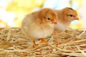Little chickens on straw on bright background — Stock Photo