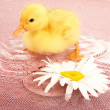 Stock Photo: Floating cute duckling close up
