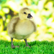 Stock Photo: Little duckling on grass on bright background