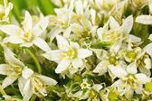 Beautiful mountain daffodil flowers background — Stock Photo