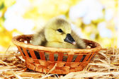 Little duckling in wicker basket on straw on bright background — Stock Photo