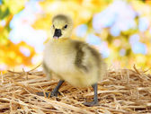 Little duckling on straw on bright background — Stock Photo