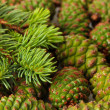 Green cones and fir tree, close up — Stockfoto