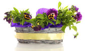 Beautiful pansies in basket isolated on white — Stock Photo