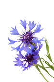 Beautiful cornflowers ,isolated on white — Stock Photo